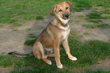 Jack Russell Husky Schäferhund Mix Lilli, (Hündin